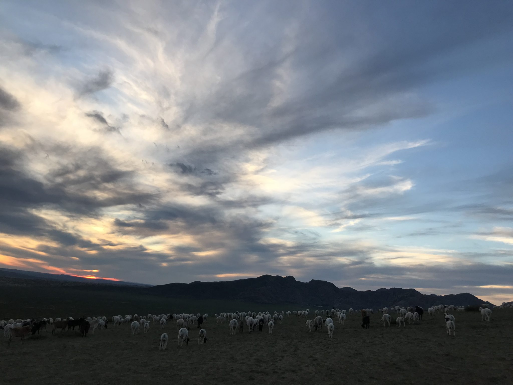 Sheep and goat herds roaming during sunset mongolian ecotourism
